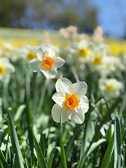 Daffodil_Flowers_in_a_Field_During_Spring_(1)